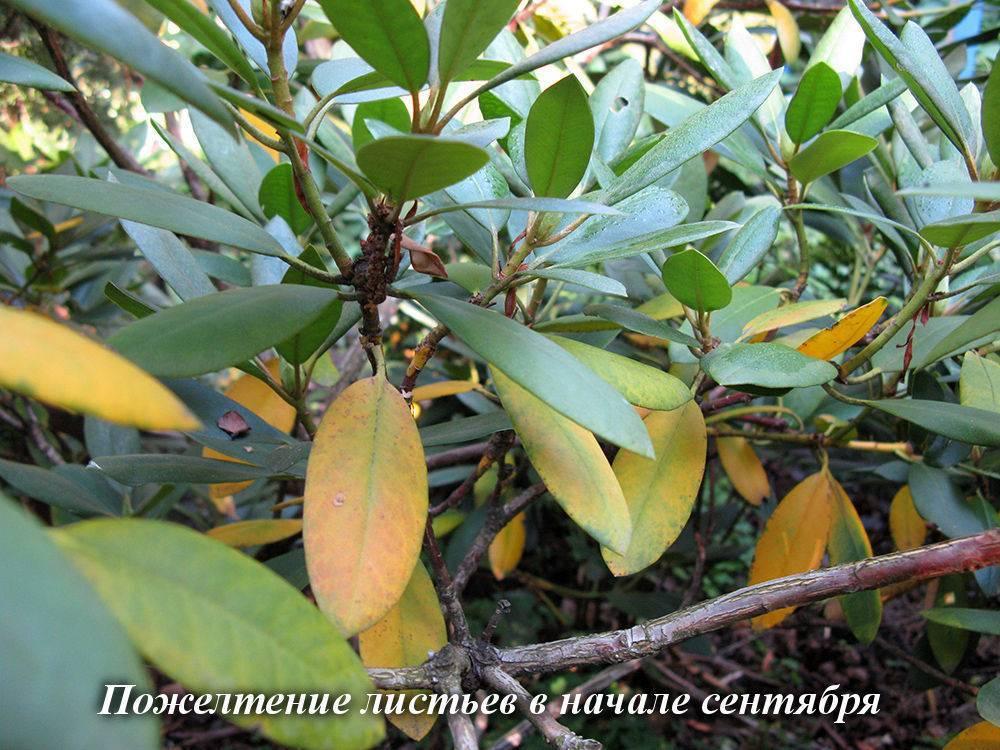 Почему желтеют листья у лилейника – что делать