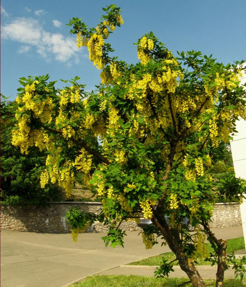 Акация (48 фото): что это такое? как выглядят цветы и листья на дереве? где растет? посадка саженцев, размножение черенками и другими способами
