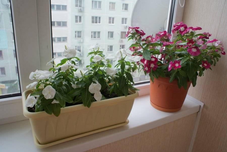 Как выращивать пионы на даче и как за ней ухаживать