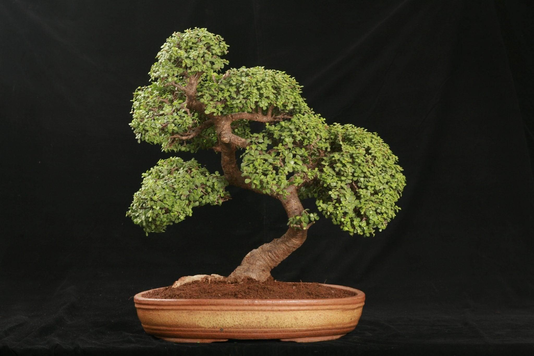 Как формировать денежное дерево в домашних условиях