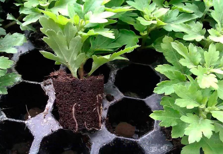 Хризантема в горшке – уход в домашних условиях