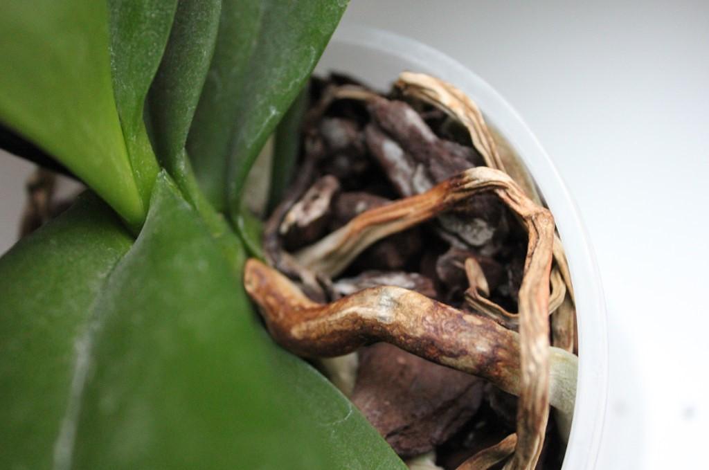 Изысканный и стойкий фаленопсис. как заботиться о корнях орхидеи, чтобы они были здоровыми?