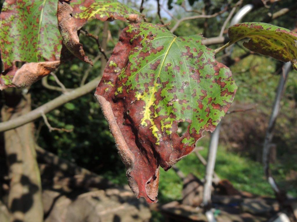 Болезни лилейника: причины возникновения и борьба с ними