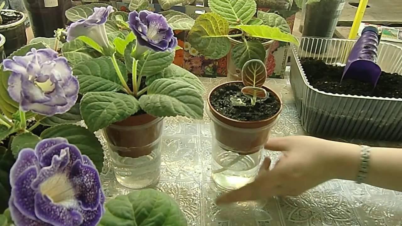 Отцвела глоксиния: что делать дальше, когда и как обрезать растение и какой ему затем требуется уход в домашних условиях?