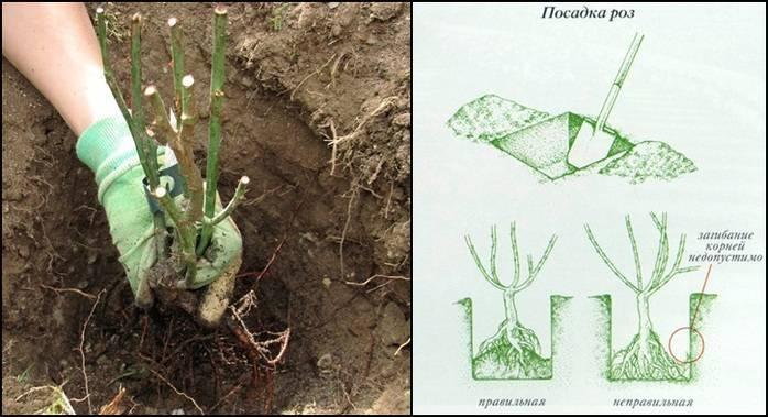 Обриета выращивание из семян - посадка и уход