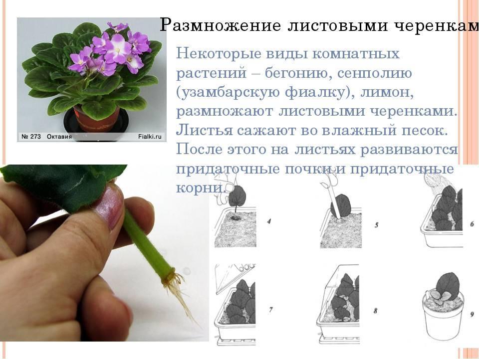 Условия ухода за пентасом дома: полив, почва, посадка и размножение