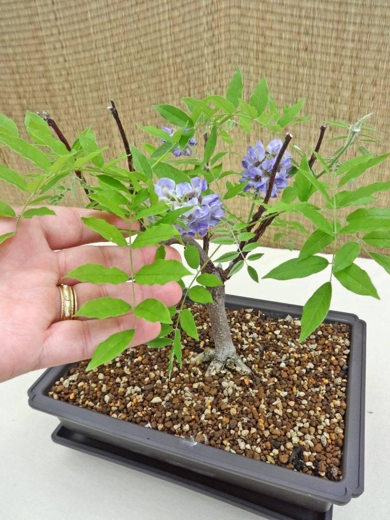 Дерево глициния: фото, виды для выращивания в форме бонсая, а также как правильно сажать и ухаживать, можно ли в открытом грунте и бывают ли цветущие?