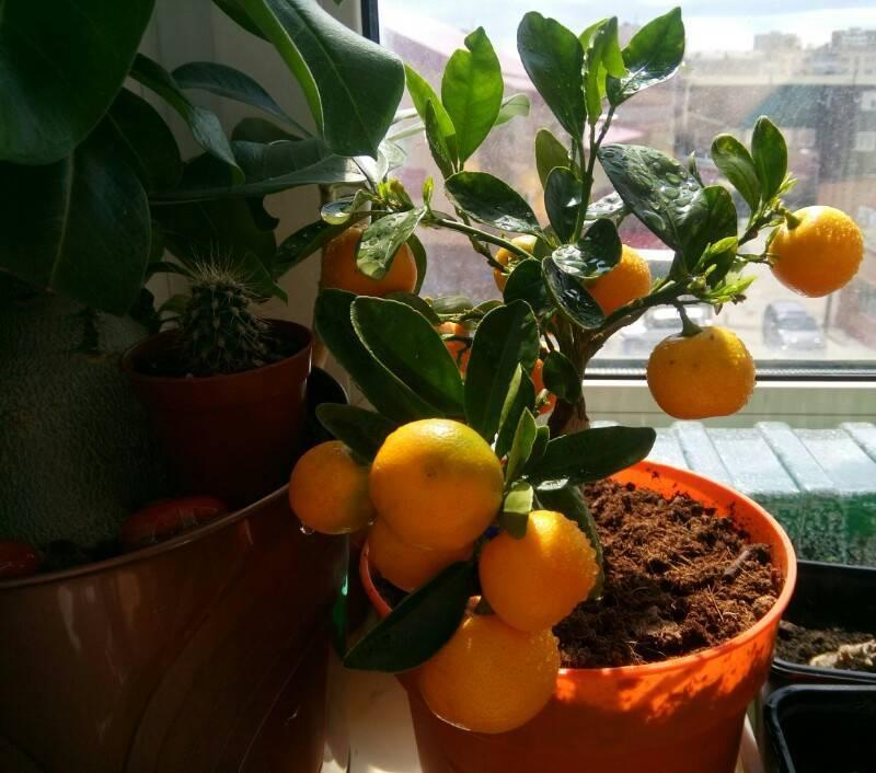 Каламондин — уход в домашних условиях за цитрусом
