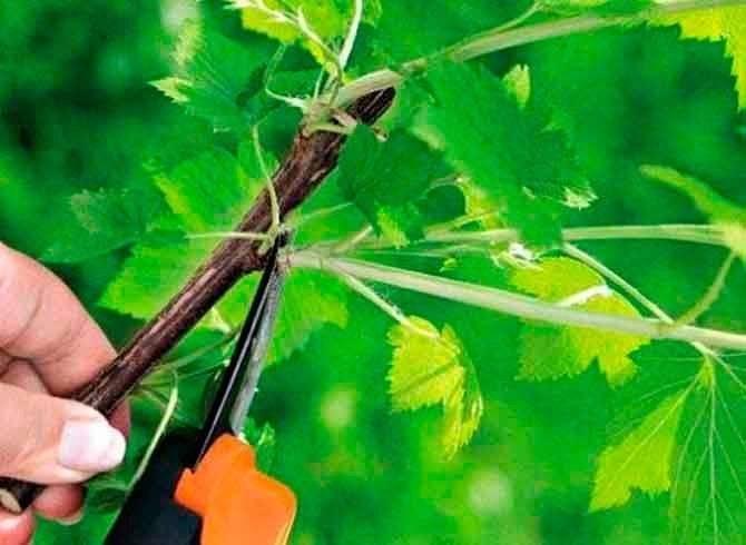 Груша не цветет и не плодоносит: причины и методы лечения