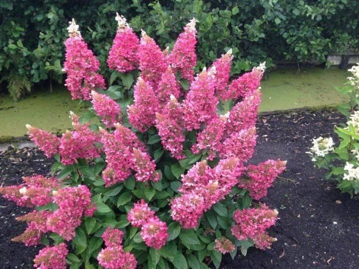 Гортензия пинки винки (hydrangea paniculata pinky winky) — описание