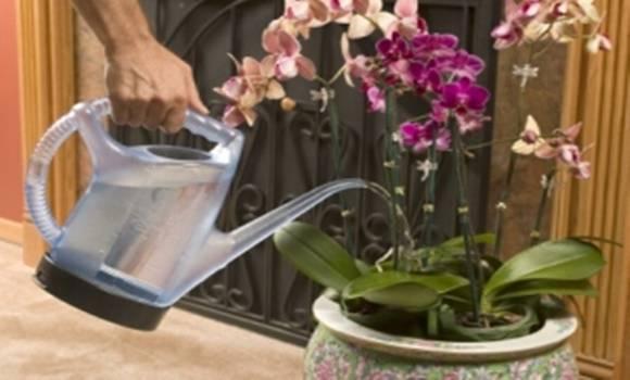 Полив орхидей: можно ли часто и как правильно это делать, сколько раз добавлять воду в разное время года и какая она нужна, а также фото цветка