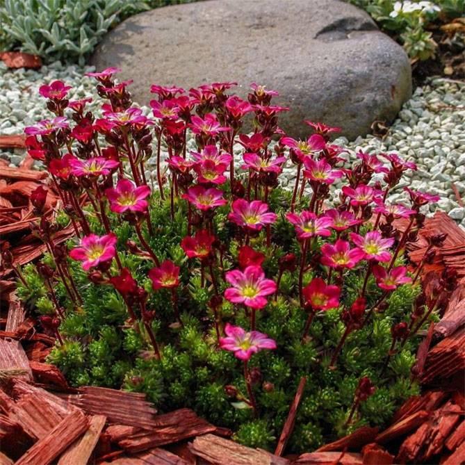 Сорта мяты с названиями: какие бывают виды, как выглядит, когда цветет растение