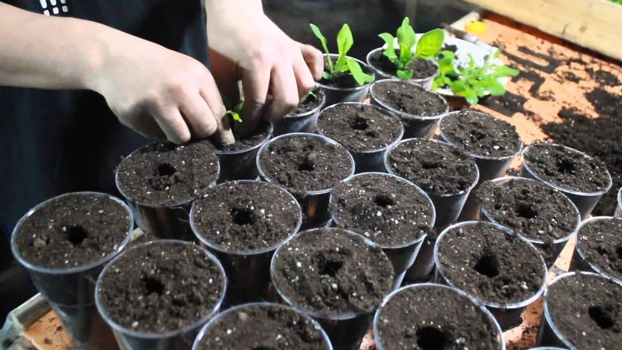 Тунбергия крылатая: сорта, выращивание, размножение