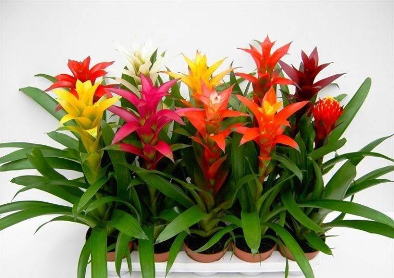 Бромеливые комнатные растения и цветы: фото, правила ухода в домашних условиях