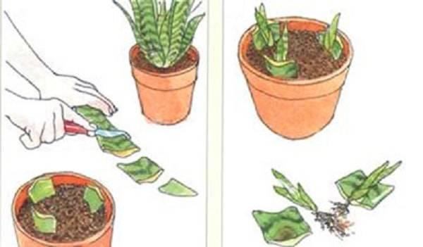 Комнатное растение кислица: особенности ухода вдомашних условиях