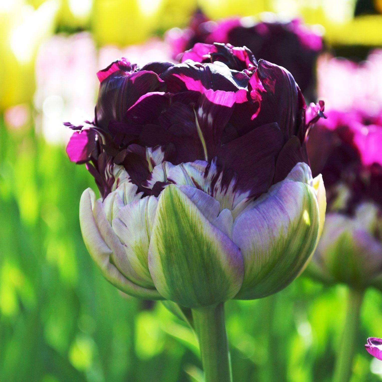Голландские тюльпаны (33 фото): названия выгоночных сортов. можно ли вывозить тюльпаны «рейнбоу» с их родины - голландии?