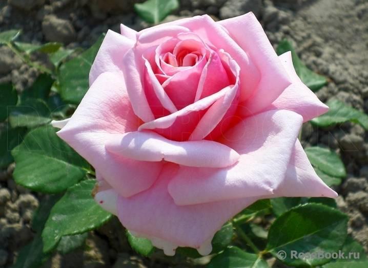 Роза Фредерик Мистраль (Frederic Mistral) — характеристики цветка