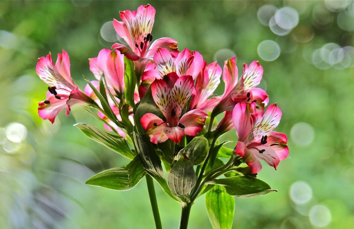 Альстромерия: перуанская красавица в современном саду