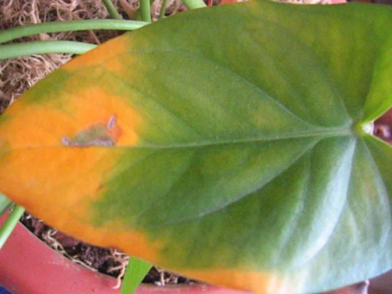 Что делать, если у антуриума желтеют листья? в чем причина того, что сохнут листья? как правильно поставить диагноз? как ухаживать за цветком «мужское счастье»?