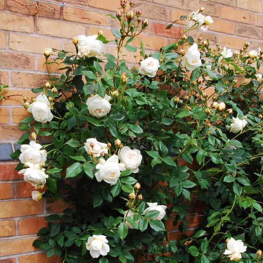 Розы дэвида остина: посадка и уход