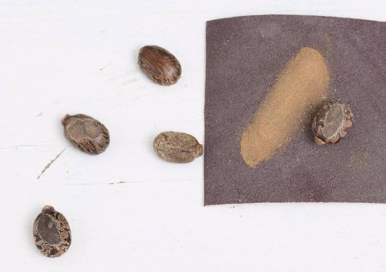 Выращивание клещевины из семян: когда сажать и правила ухода