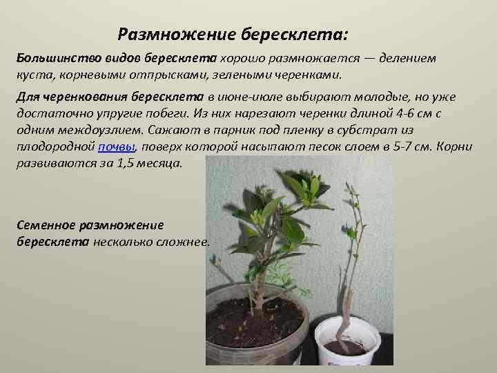 Растение бересклет: описание, уход и размножение