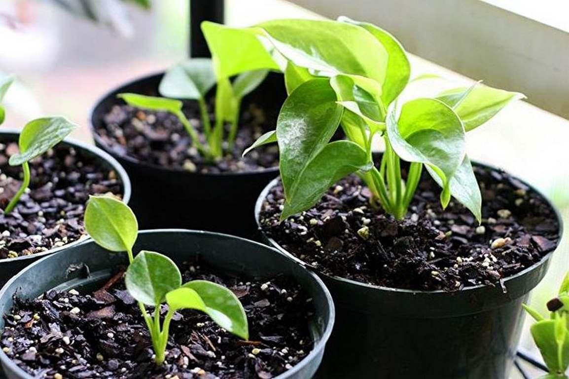 Популярные виды гипоэстеса иуход зарастением вдомашних условиях