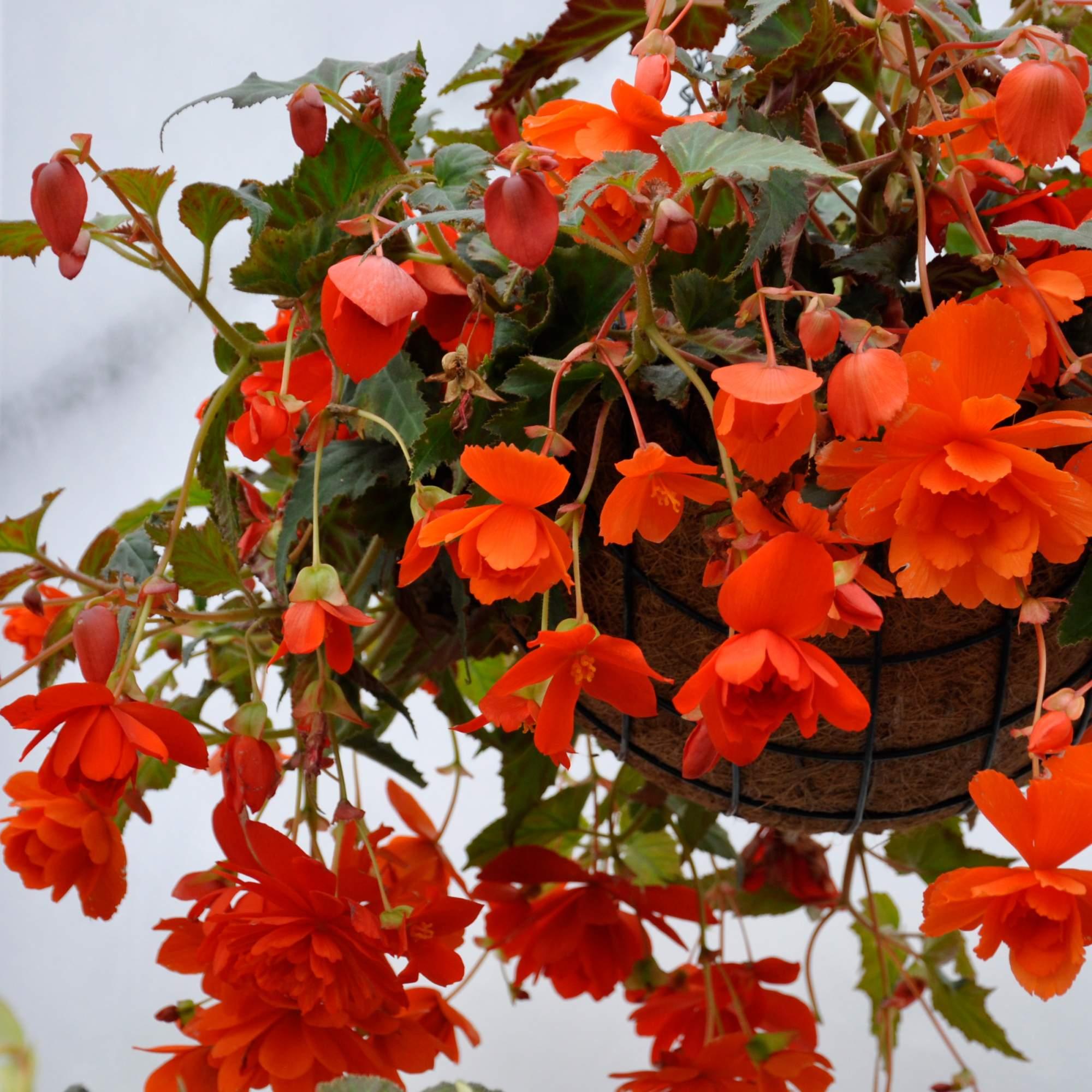 Уход за ампельной дихондрой: подбор грунта, почему у дихондры мельчают листья
