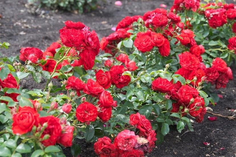 Роза queen of hearts