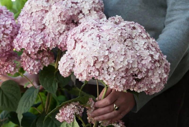 Гортензия аннабель — посадка и уход за растением в открытом грунте