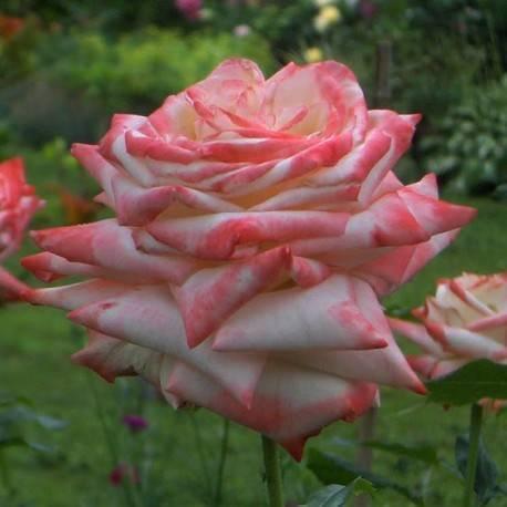Роза чг шарль де голль — голубая прелестница в вашем саду