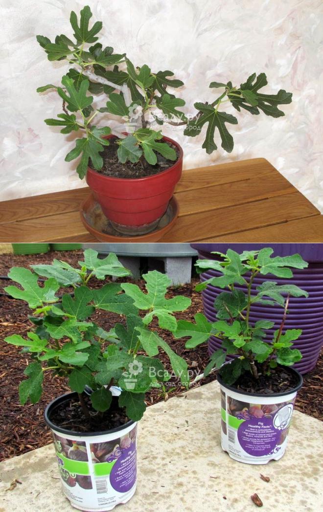 Инжир: выращивание в домашних условиях из семян