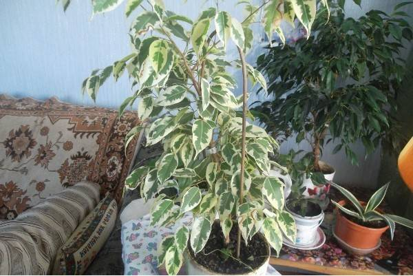 Денежное дерево — можно ли держать дома, что оно приносит, можно ли его отдавать