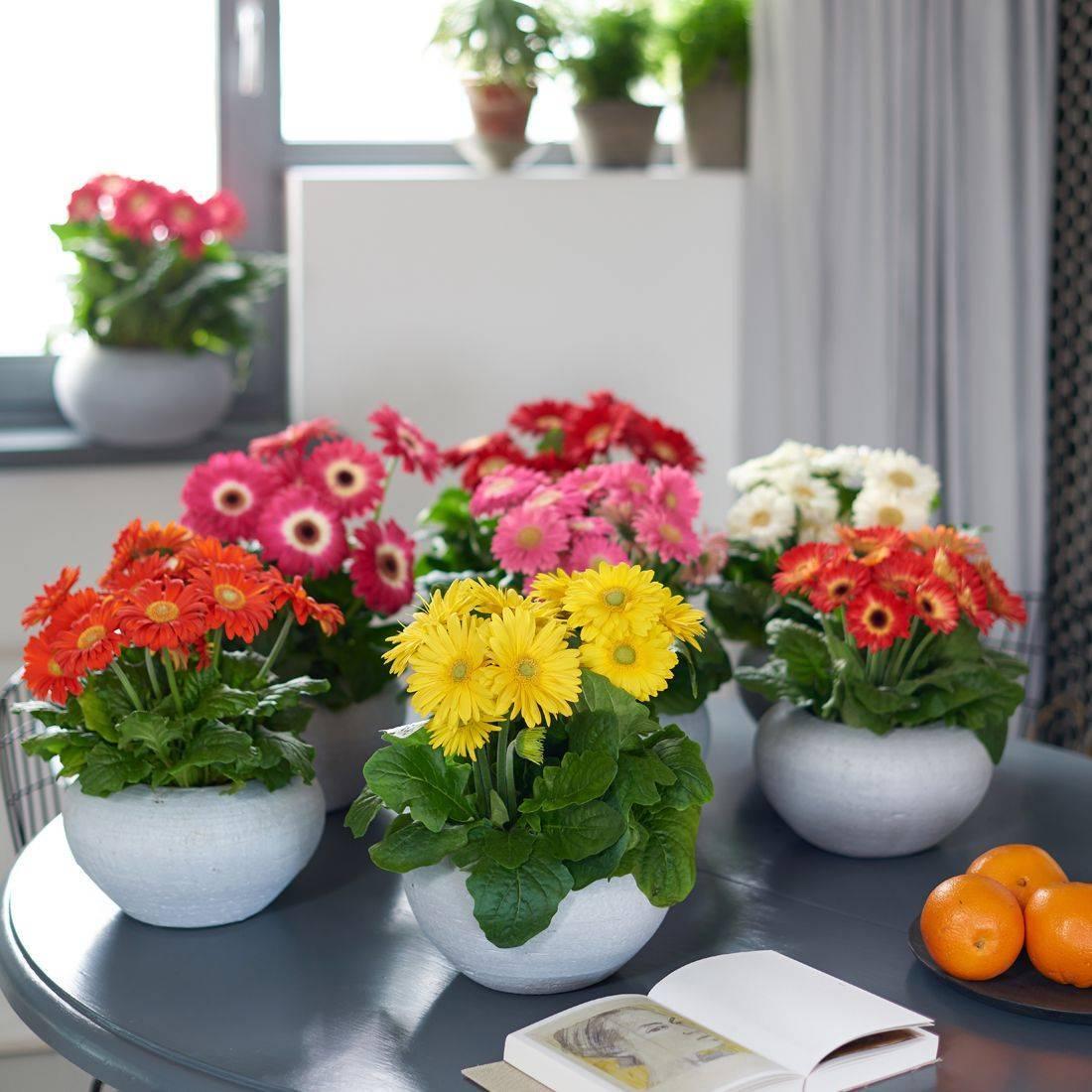 Гербера в домашних условиях: уход за цветком в горшке зимой и в другое время года, как его поливать, фото комнатного растения, размножение и возможные проблемы