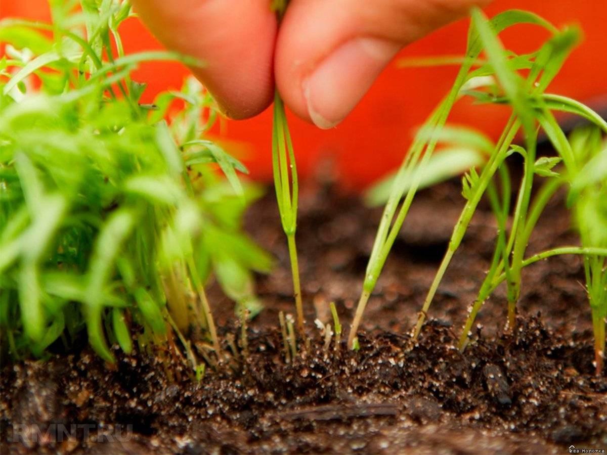 Немезия: выращивание из семян, посадка и уход в саду