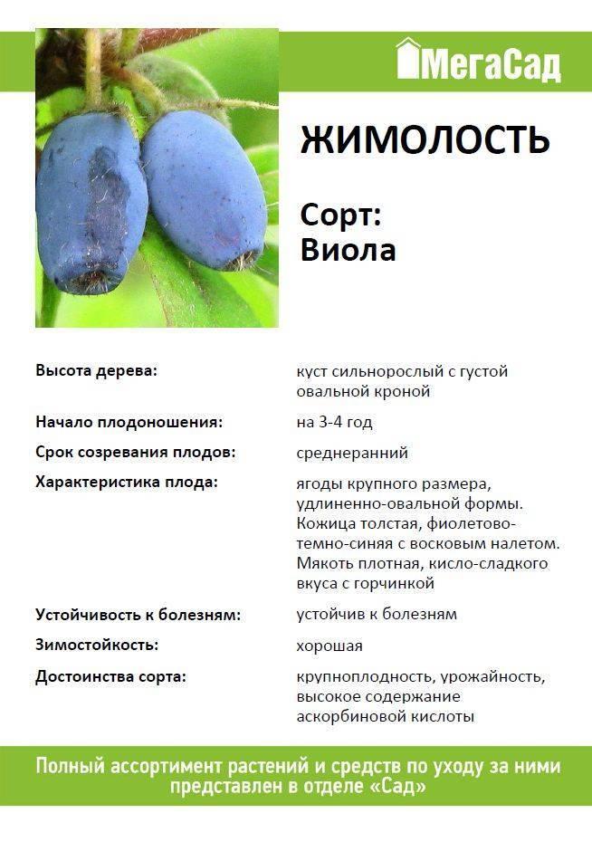 Размножение жимолости съедобной, особенности посадки и ухода