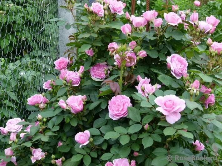 Канадская роза: описание и уход за цветком