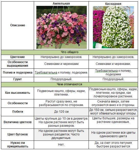 Отличия ампельной петунии от каскадной (49 фото): особенности посадки петуний, какая из них лучше?