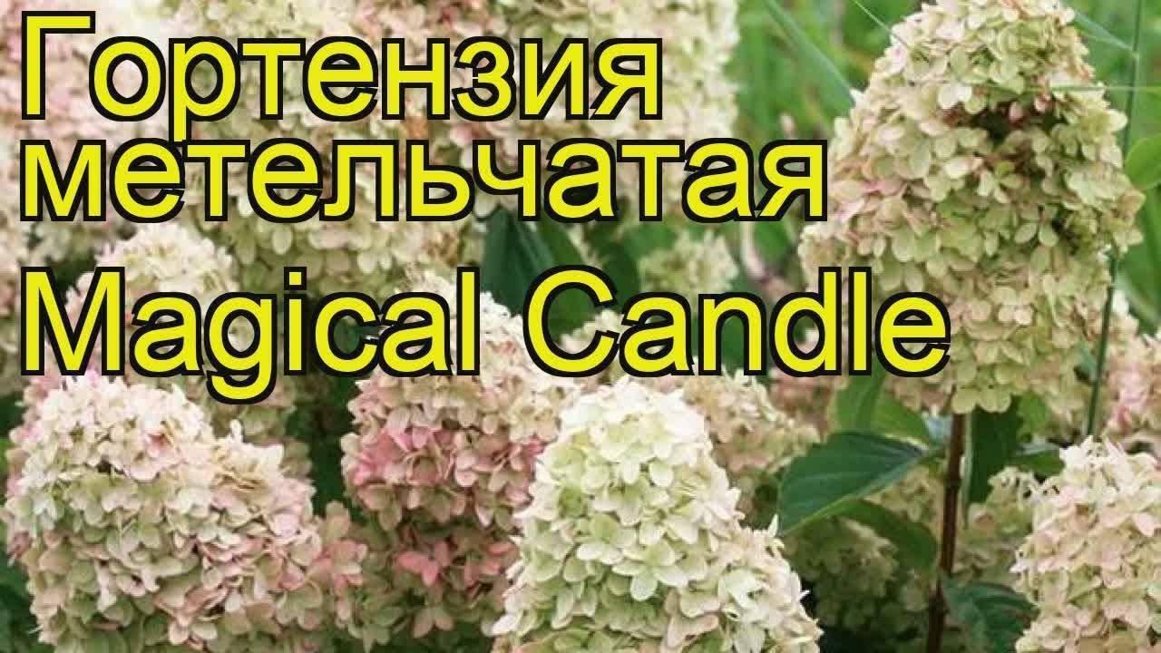 Гортензия метельчатая кэндллайт (candlelight) — описание