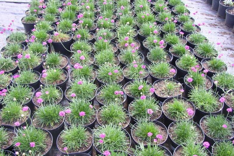 Многолетний цветущий кустарник армерия: посадка и уход в открытом грунте, фото и сортовое разнообразие растения
