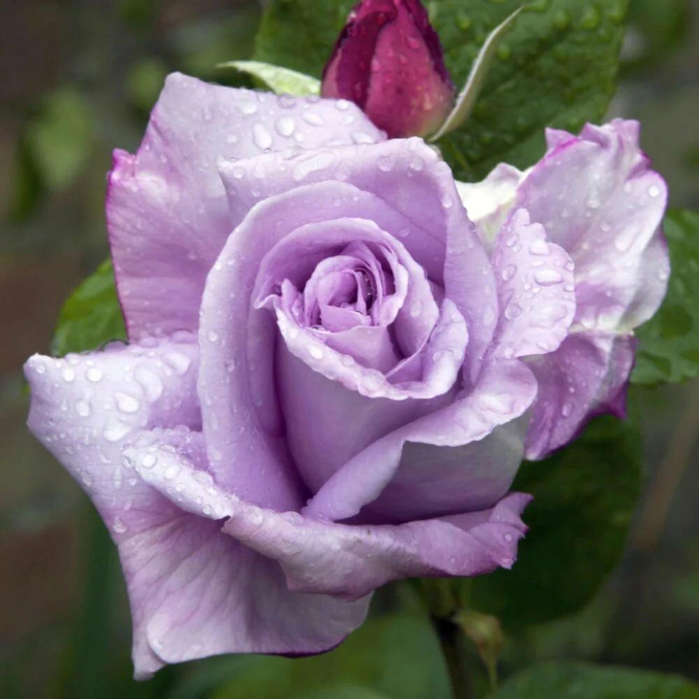 Роза си си энциклопедия роз