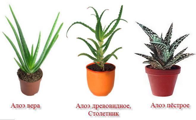 Столетник и алоэ: в чем разница? чем отличается растение столетник от алоэ вера?