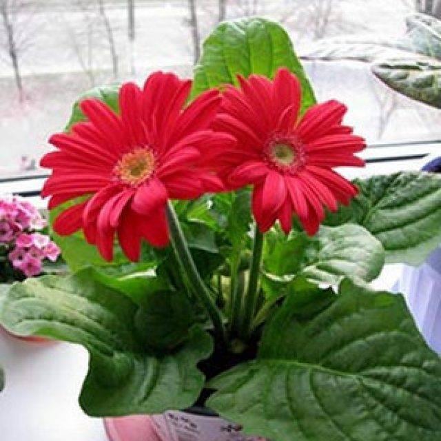 Гербера — уход за комнатным цветком в домашних условиях ?