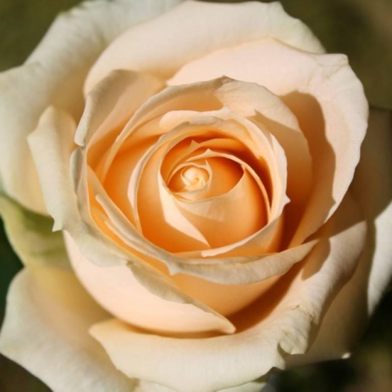 Роза пич аваланж (peach avalanche) — описание сорта