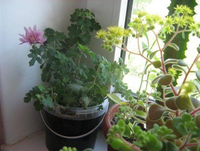 Выращивание, уход и размножение хризантемы комнатной