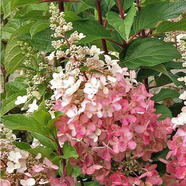 Гортензия пинк леди (hydrangea paniculata pink lady) — описание