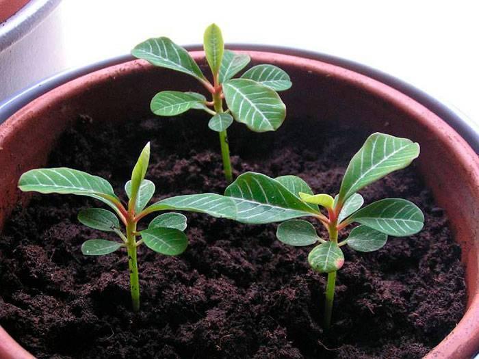 Молочай: размножение и выращивание в домашних условиях комнатного цветка, уход, фото, а также когда посадить отросток и укоренить черенки, как выбрать семена?