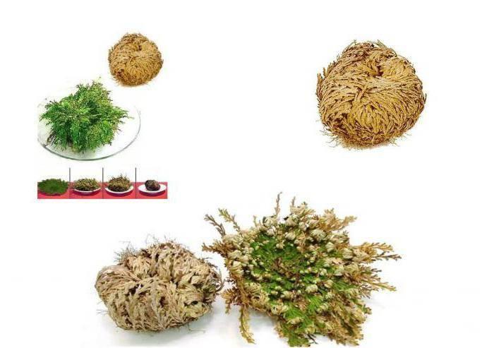 Цветок селагинелла: фото, уход при выращивании в домашних условиях, размножение и пересадка