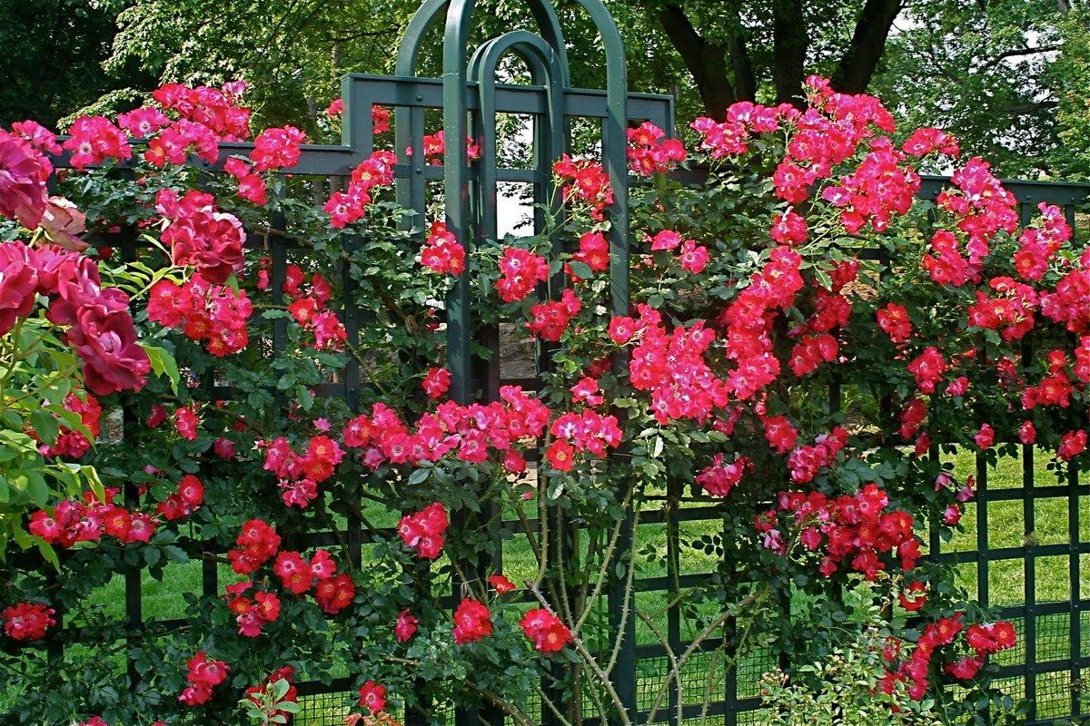 Почему не растет роза после посадки и что делать?