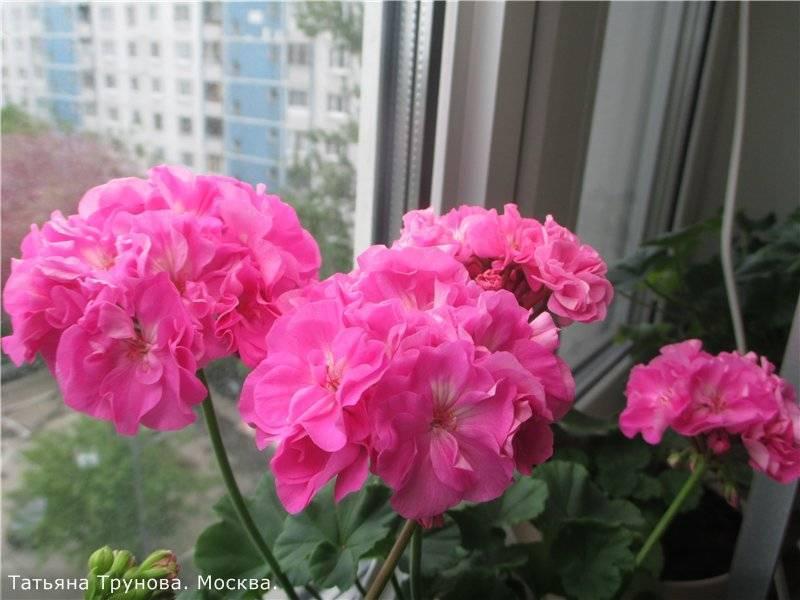 Пеларгония карликовая: уход в домашних условиях, сорта, фото